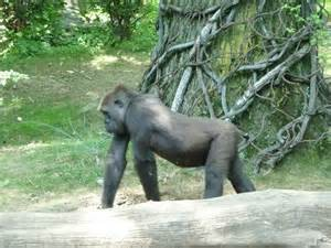 See the gorillas at the zoo.