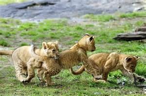 Bronx Zoo lion cubs playing.